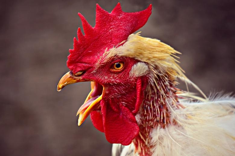 Chicken_new
